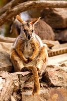 Wallabies (gallery)