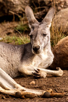 grey roo resting