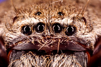 Huntsman spider eyes closeup