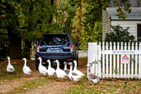 Mayfield Vineyard geese Settlers Cottage open gate