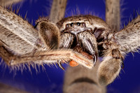 Huntsman spider front foot and fangs