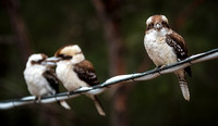 07DL8549 kookaburras on conduit 1800px