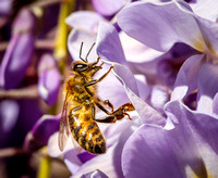 _7D_8757 bee on wisteria 1800px