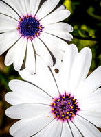 _7D_8665 tiny insect on white African daisies 1800px