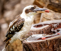 07DL8197 kookaburra on log with meat 2048px