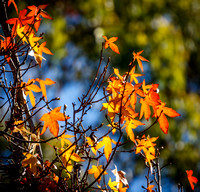 _7D_7062 autumn maple leaves top of tree 2048px