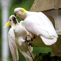 cockatoos fighting in rain at feeder