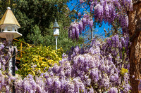07DL8545 wisteria in spring 1800px