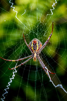 St Andrews Cross spiders (gallery)