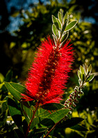 _7D_0991 backlit bottlebrush flower 2048px