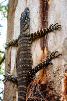 goanna on tree trunk crop