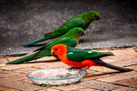 _7D_2779 male and female King-Parrots with seed bowl 2048px