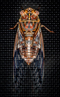 _7D_4156 cicada closeup on insect screen 2048px