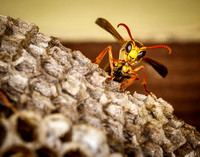 _7D_5058 paper wasp on nest closeup 2048px