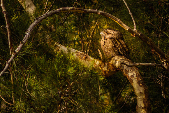 tawny frogmouth sleeping in tree