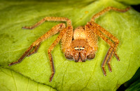 _7D_4502 small huntsman spider closeup on leaf 2048px