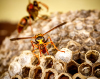 _7D_5045 paper wasp with food ball on nest closeup 2048px