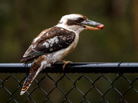 07DL8578 kookaburra with meat on fence 1800px