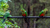 07DL4974 3 female king parrots on fence in rain 1800px