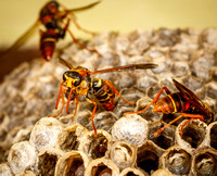_7D_5039 paper wasp  with food ball on nest closeup 2048px