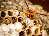_7D_5034 paper wasp on nest closeup 2048px